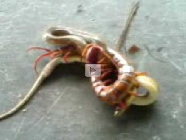 A-Huge-Centipede-Fighting-A- ...